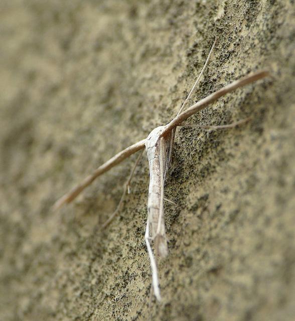 Emmelina Monodactyla -Side