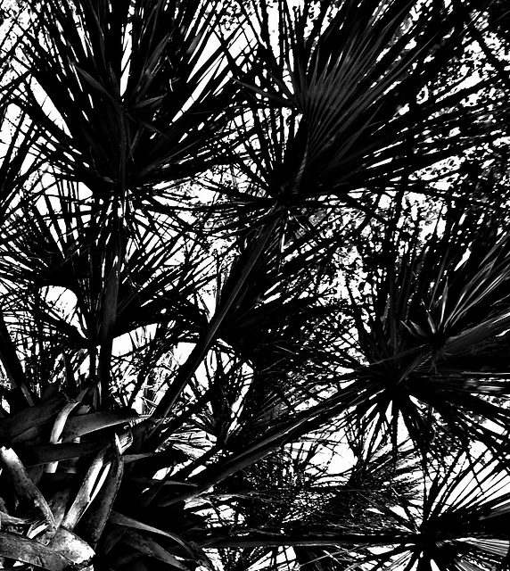 Fronds in B&W