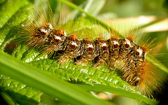 Brown-tail Moth Caterpillar