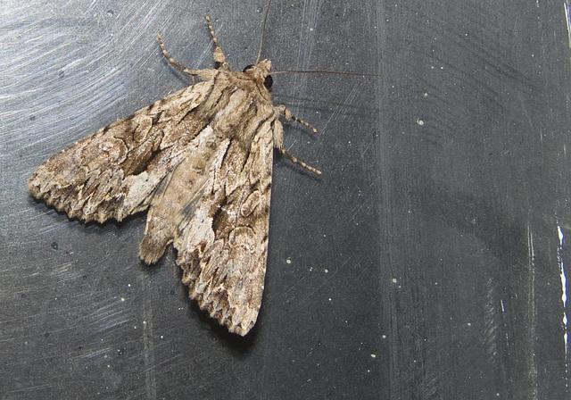 Pale-shouldered Brocade