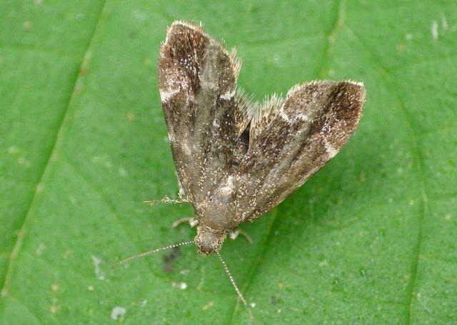Neetle Tap Moth
