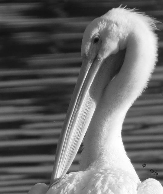 Pelican (aka) a Snowbird  ..