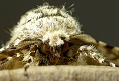 Peppered Moth Face