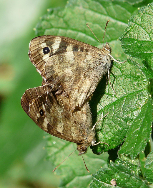 Speckled Wood Butterfly Pair