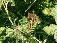 Brown-tail Moth Caterpillar @ Glyne Gap