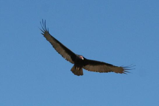 Tombstone Vulture