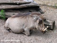 Warzenschwein (Wilhelma)
