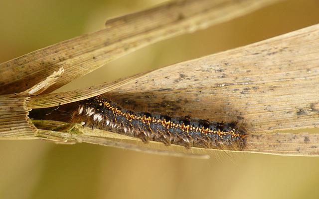 The Drinker Moth Caterpillar