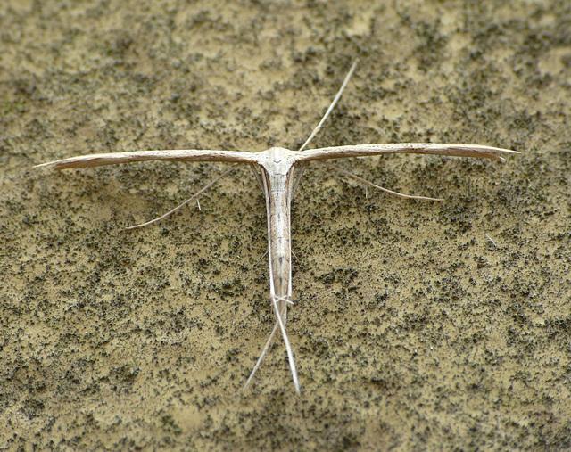 Emmelina Monodactyla -Top