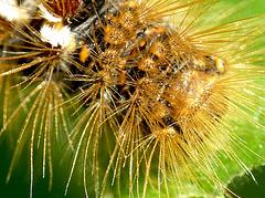 Brown-tail Moth Caterpillar Hairs