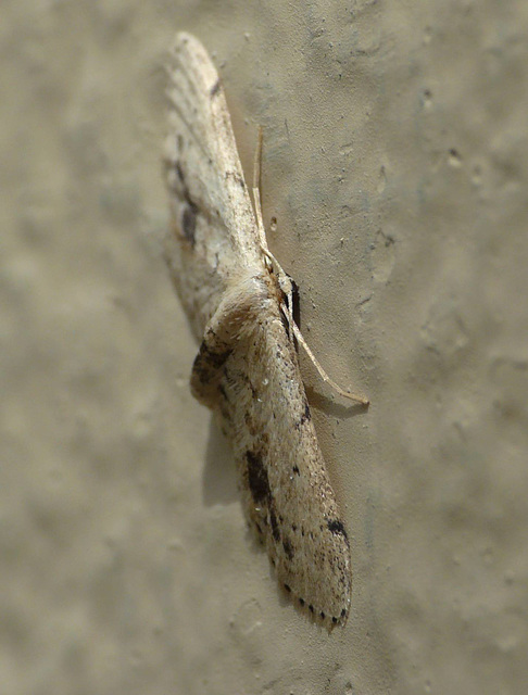 Single Dotted Wave Moth -Face