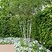C-Jardin 3-Renaissance 6- Betula utilis 'Jacquemontii'