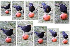 Apple-flavoured blackbirds?