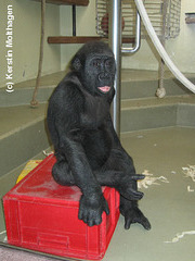 Gorillajunge N'Bia (Wilhelma)