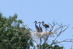 Young Herons on Nest