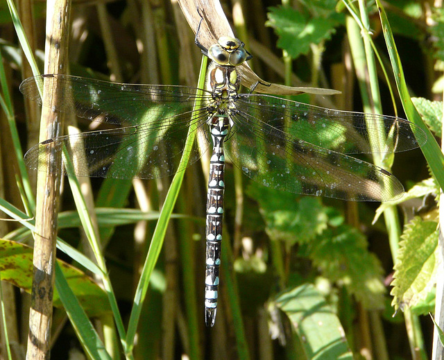 Southern Hawker -Male Top