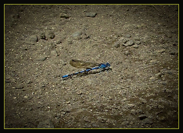 My First Damselfly!