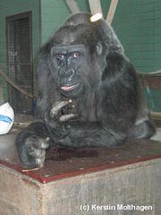 Gorilladame Mimi (Wilhelma)