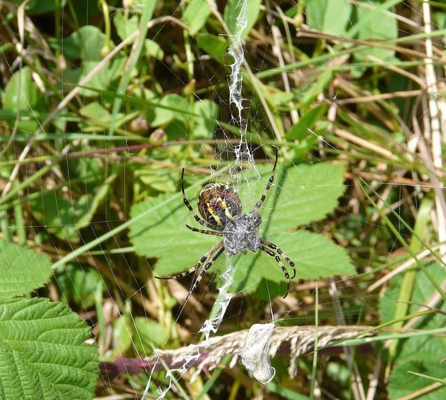 Wasp Spider -Underside