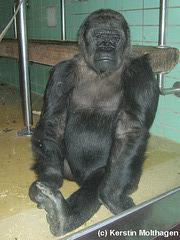 Gorilladame Undi (Wilhelma)