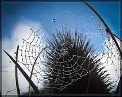 Sparkling Spider Web Against Teasel