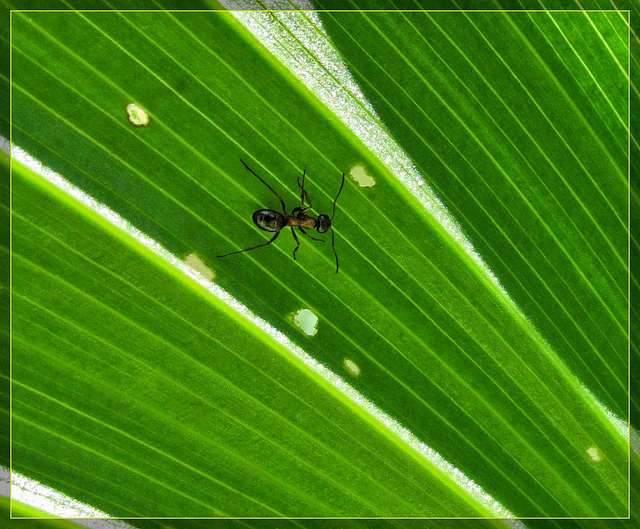 Ant on Corn Lily Leaf