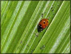 Ladybug Juggernaut