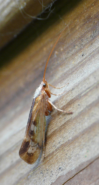 Caddisfly Side