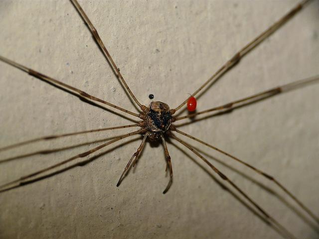 Huntsman Bug With Mite