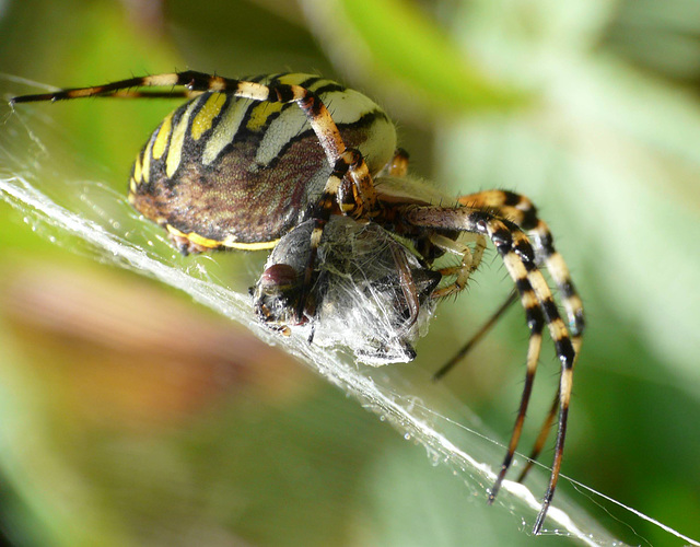 Wasp Spider -Side