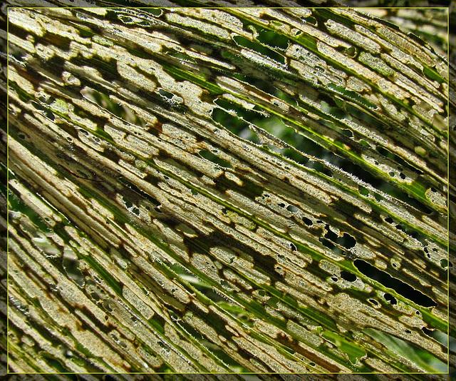 Corn Lily Leaf Damage Detail