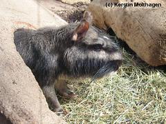 Viscacha (Wilhelma)