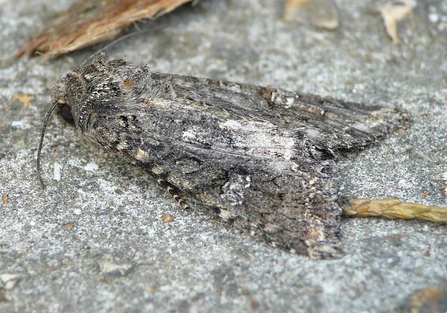 Cabbage Moth -Sideish
