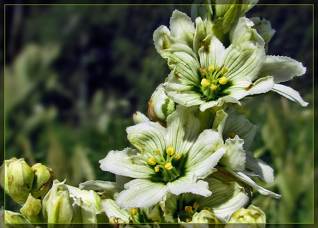 Corn Lily Blossoms