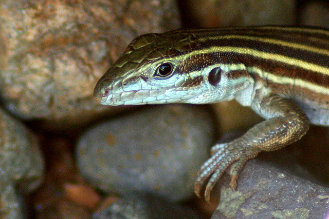 A Sonoran Spotted Whiptail