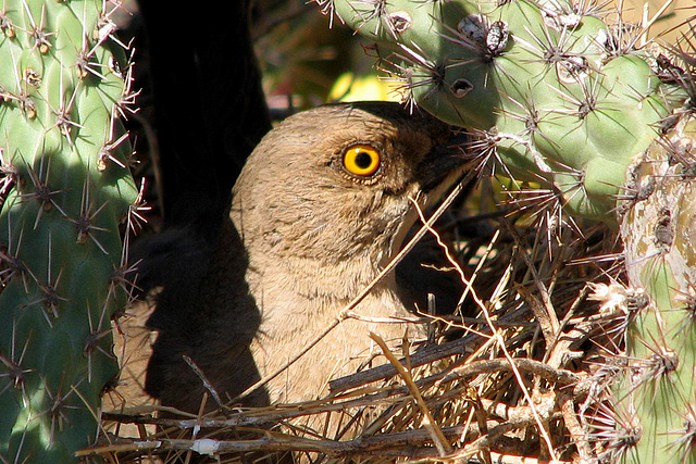 Curve-billed Thrasher in the Cholla Cactus by ThreadedThoughts