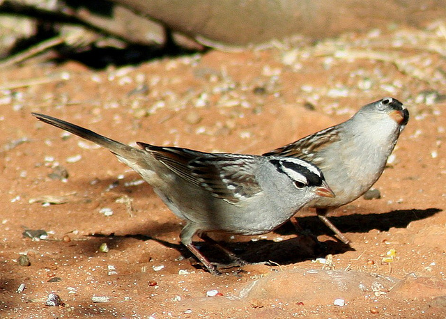 White-Crowned Sparrows by ThreadedThoughts