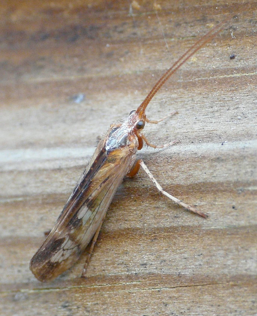 Caddisfly Top