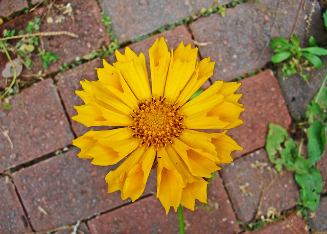 Coreopsis with Quilled Petals