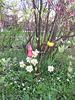 Tulpen und Narzissen (Tulipa, Narcissus)