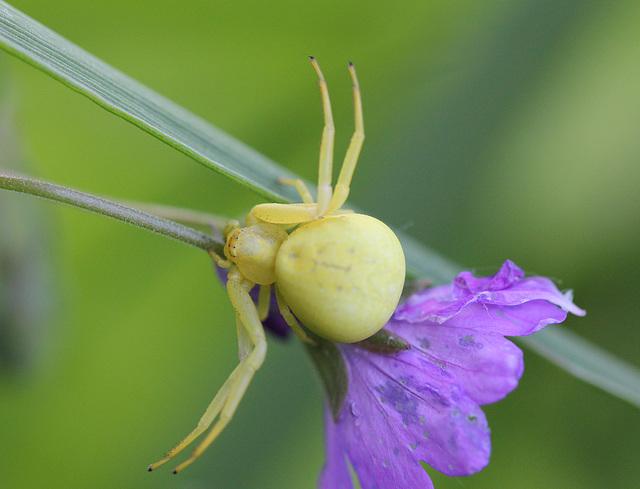 Araignée-crabe (Misumena Vatia)