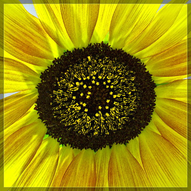 Heart of Sunflower