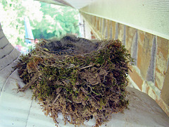 Eastern Phoebe Babies in Nest