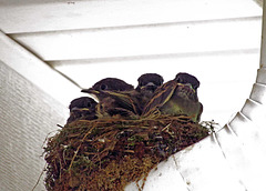 Eastern Phoebe Babies in the Nest