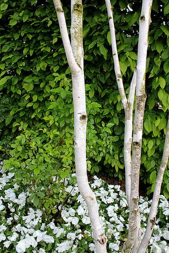 C-Jardin 3-Renaissance 7- Betula utilis