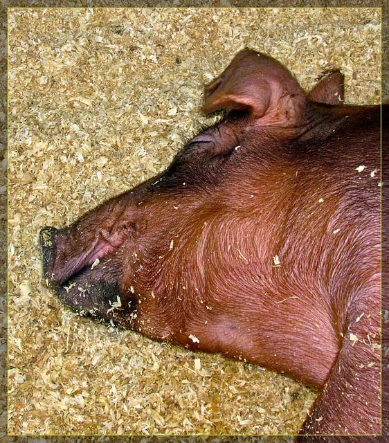 Brown Piggy Fast Asleep
