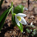 Second Snowdrop