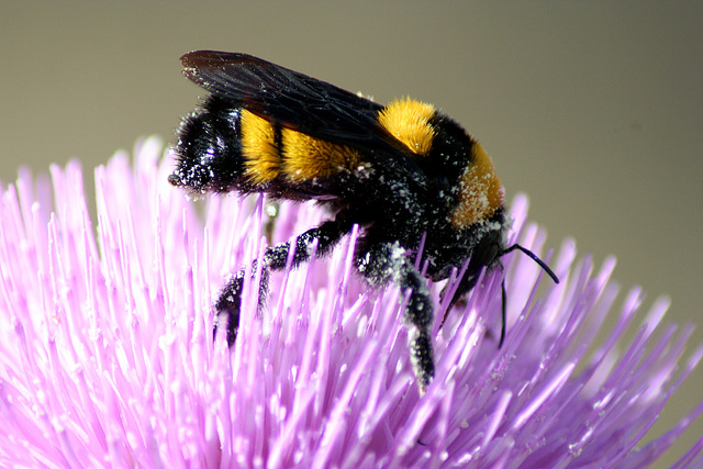 Bumblebee on  a Milk Thistle