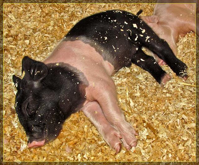 Adorable Sleeping Piglet