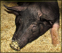 Beautiful Piggy Face